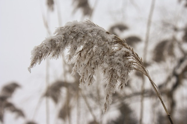 winterwheat